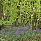 Dorset Beech Woodland in Spring by JUDI2008