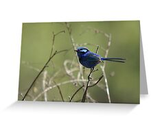 Splendid Blue Fairy Wren ~ Dwellingup ~ WA Greeting Card