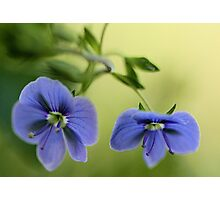 -Blue Speedwell Blossoms Photographic Print