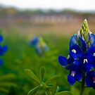 Blue Bonnet by Roschetzky