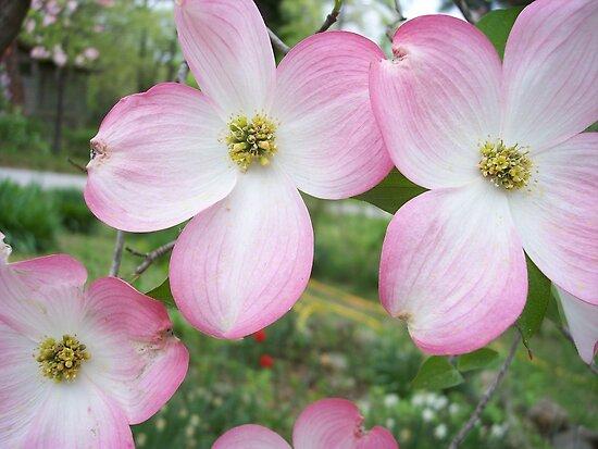 Pink dogwood Tree Blossums by seemyshots