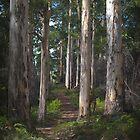 karri forest - pemberton, wa by col hellmuth
