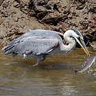Blue Heron Fishing by Michael  Moss