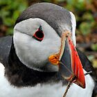 puffin: my what a big beak you have ! by Grandalf