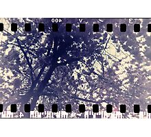 Blossom tree - Leamington Spa, May 2010 Photographic Print