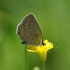 Sunlit Grey Hairstreak by denahickman