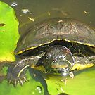 Red Eared slider by jsmusic