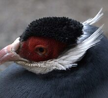 Blue Eared Pheasant by Susan Vinson
