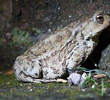 Common Toad by Dave Godden