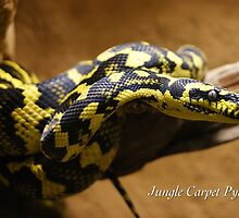 Jungle Carpet Python by JpPhotos
