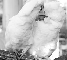 white love birds in Baluarte, Ilocos, Philippines by walterericsy