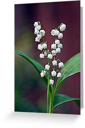 Lily of the Valley by Ray Clarke