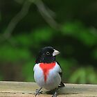 Male Rose-Breasted Grosbeak by Anne Smyth