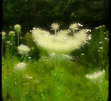 Glory Of Queen Anne's Lace  by gothicolors