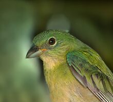 Painted Bunting  by Bonnie T.  Barry