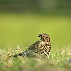 Song Thrush Feeding by photoshotgun