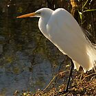 Snowy Egret by Dian  Squire