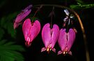 Wild Bleeding Hearts by Tori Snow
