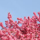 Cherry Bloosom Trees - Spring in MN by toni4ball
