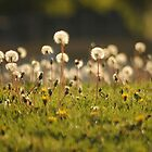 Field of Dandelions - Spring in MN by toni4ball