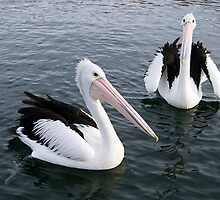 Two Pelicans looking for a feed by Fred  Smith