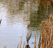 THE BLUE HERON  by Marie  Morrison