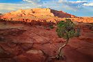 Desert Juniper by Inge Johnsson
