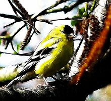 ~ Male American Goldfinch ~ by Brenda Boisvert