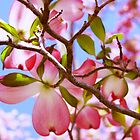 """""""Looking Up Through The Pink Dogwood Tree"""" by franticflagwave"""
