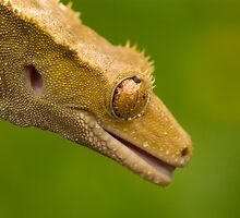 Crested gecko in the rain by AngiNelson