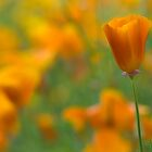 California Poppies by TX63
