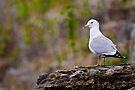 Ring Billed Gull on Rock - Ottawa, Ontario by Michael Cummings