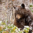 Grand Teton National Park Black Bear by cavaroc