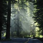 Moody Redwoods by Morgan Wade