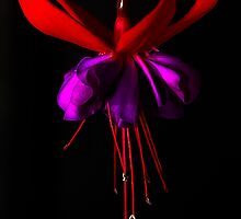 Fuchsia #1 by Jason Green