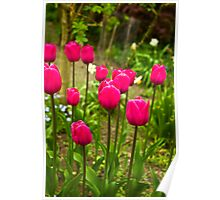 Tulips (Spring-Early May) Poster