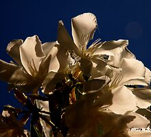 White Flowers - California Blue Sky by Elliot MacDonald