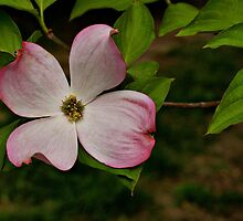 Dogwood Blossom by Sandy Keeton
