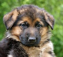 Black & Tan German Shepherd Puppy by Sandy Keeton