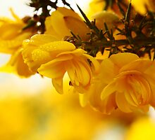 Yellow Gorse by Anne Kingston