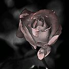 ROSE AT MIDNIGHT by hugo