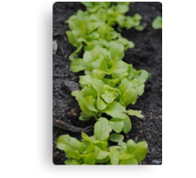 Lettuce  is like conversation; it must be fresh and crisp, so sparkling that you scarcely notice the bitter in it Canvas Print