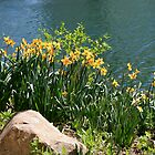 Daffodli's on Waters Edge by Nancy (Peaches) Harker