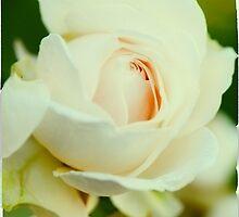 Delicate White Rose by Maria Kumlander