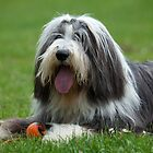 Bearded Collie by Katariina Jarvinen