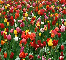 Tulips by tonni