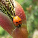 Ladybird by sarnia2