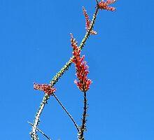Ocotillo in Bloom by Jodyelizabeth
