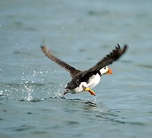 puffin he can walk on water by Grandalf