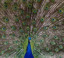Male Peacock with Full Plumage by MaryMossberg